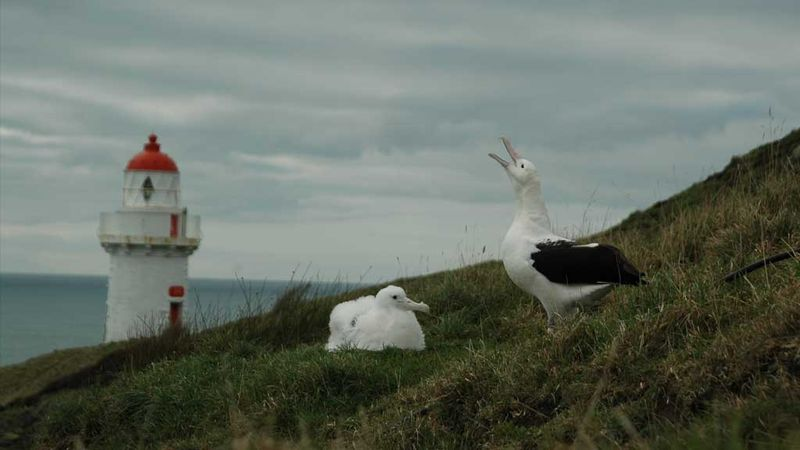 Northern royal albatross on the Otago Peninsula